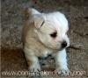 Criadero de perros Westy Comercial Cridorcan Foto 3