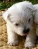 Criadero de perros Westy Comercial Cridorcan Foto 2