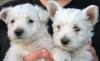 Criadero de perros Westy Comercial Cridorcan Foto 1